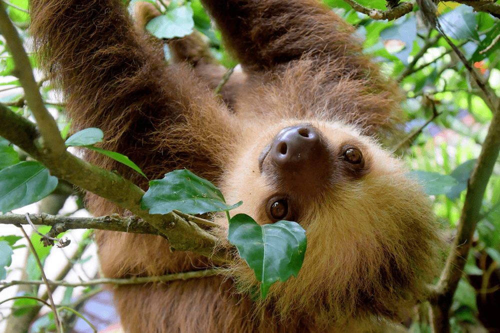 Upside-down sloths are so cute
